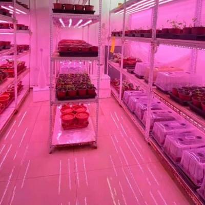 中科院植物所光合中心大量更换LED植物灯(第二批)